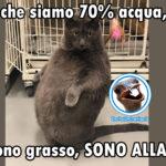 Foto divertente gatto con frase - Allagato, non Grasso
